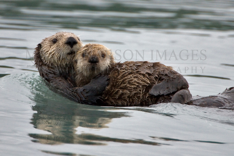 Sea otter protecting her baby
