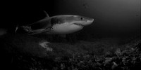 A white shark swims along the bottom in Action Bay at the Neptune Islands, Australia in black and white