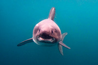A salmon shark approaches in the cold waters of Port Fidalgo, Alaska
