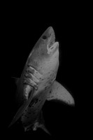 A salmon shark rising from the cold depths of Port Fidalgo, Alaska in black and white