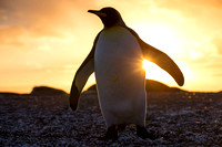 A king penguin in the sunrise at St. Andrew's Bay, South Georgia