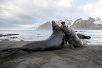 Southern elephant seals battle for control of harems of breeding females on the beach at Gold Harbour, South Georgia Island