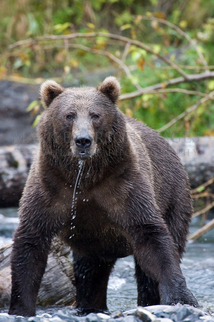 Kodiak brown bear at attention