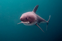 A salmon shark hunts the cold waters of Port Fidalgo, Alaska