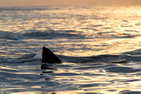 A white shark carries its kill through the water lit by early morning light off Seal Island, South Africa