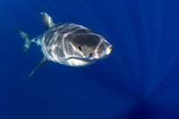 A white shark at Isla Guadalupe